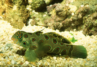 Synchiropus picturatus, Picturesque dragonet: aquarium
