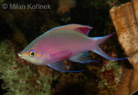 Pseudanthias tuka - Purple Anthias