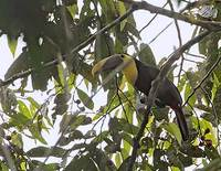 Chestnut-mandibled Toucan (Ramphastos swainsonii) photo