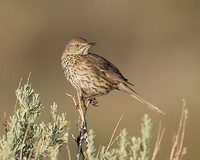 Sage Thrasher (Oreoscoptes montanus) photo