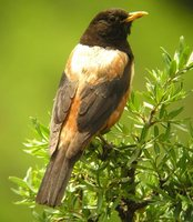 White-backed Thrush - Turdus kessleri