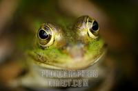 Edible frog ( Rana esculenta ) stock photo