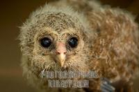 Young African Wood Owl stock photo