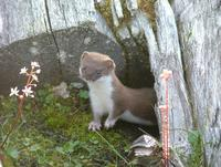 ...e Least weasel Mustela nivalis nivalis, a subspecies of the common weasel. Never a