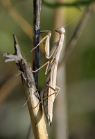 : Stagmomantis californica; California Mantid