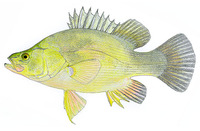 Macquaria ambigua, Golden perch: fisheries, aquaculture, gamefish