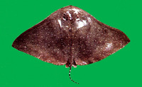Aetoplatea zonura, Zonetail butterfly ray: fisheries