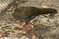 Jones' Silver Pheasant Lophura nycthemera jonesi