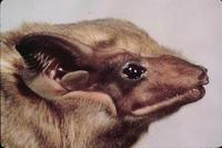 Image of: Taphozous philippinensis (Philippine tomb bat)