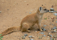 Cynictis penicillata - Yellow Mongoose