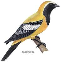 Image of: Campochaera sloetii (golden cuckoo-shrike)