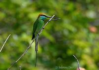 Image of: Merops viridis (blue-throated bee-eater)