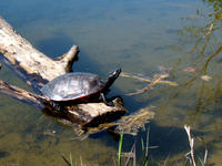 Image of: Pseudemys rubriventris (American red-bellied turtle)