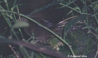 Long-tailed Bush Warbler - Bradypterus caudatus