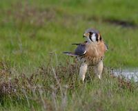 American Kestrel (Falco sparverius) photo
