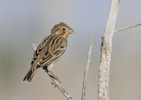 Corn Bunting (Miliaria calandra) photo