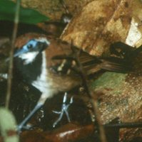 Ferruginous-backed Antbird - Myrmeciza ferruginea