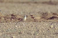 Greater Hoopoe-Lark - Alaemon alaudipes