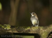 Gray-chested Jungle-Flycatcher - Rhinomyias umbratilis