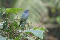 Azure-shouldered Tanager - Thraupis cyanoptera