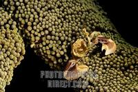 Spotted porcelain crab ( Neopetrolisthes maculatus ) stock photo