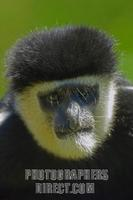 Eastern black and white colobus ( Colobus guereza ) close up portrait stock photo