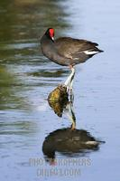 Moorhen in a pond stock photo