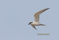 Gull-billed tern C20D 03048.jpg