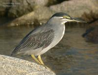 Striated Heron Butorides striatus 검은댕기해오라기