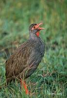 : Francolinus afer; Red-necked Spurfowl