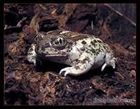 : Spea intermontana; Great Basin Spadefoot