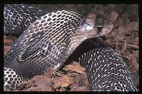 : Naja naja; Indian Spectacled Cobra