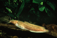 Clarias liocephalus, Smoothhead catfish: fisheries