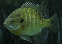 Lepomis macrochirus, Bluegill: fisheries, aquaculture, gamefish, aquarium