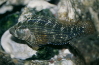 Chasmodes bosquianus, Striped blenny: