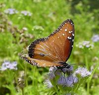 Image of: Danaus gilippus (queen butterfly)