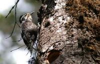 Image of: Picoides tridactylus (Eurasian three-toed woodpecker)