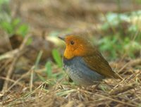 Japanese Robin (Erithacus akahige) photo