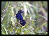 Greater Ani - Crotophaga major