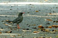 Red-legged Thrush - Turdus plumbeus