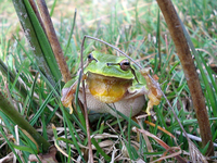 : Hyla arborea; Common Tree Frog