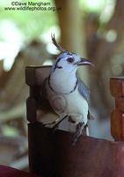 : Calocitta formosa; White-throated Magpie-jay