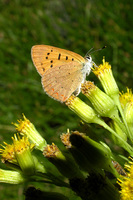 : Lycaena helloides; Purplish Copper;