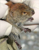 A northern red-backed vole from the Eagle River area.