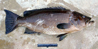 Mycteroperca rubra, Mottled grouper: fisheries