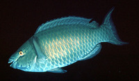 Scarus xanthopleura, Red parrotfish:
