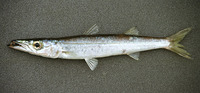 Sphyraena acutipinnis, Sharpfin barracuda: fisheries