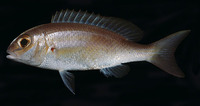 Scolopsis taenioptera, Lattice monocle bream: fisheries
