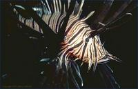 Image of: Pterois (lionfishes, turkeyfishes, and zebrafishes)