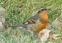 Varied Thrush - Ixoreus naevius